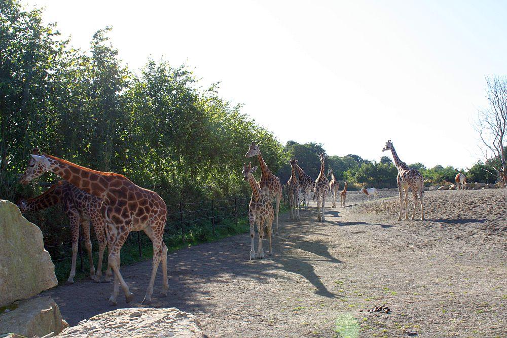 Dublin ZOO - żyrafy