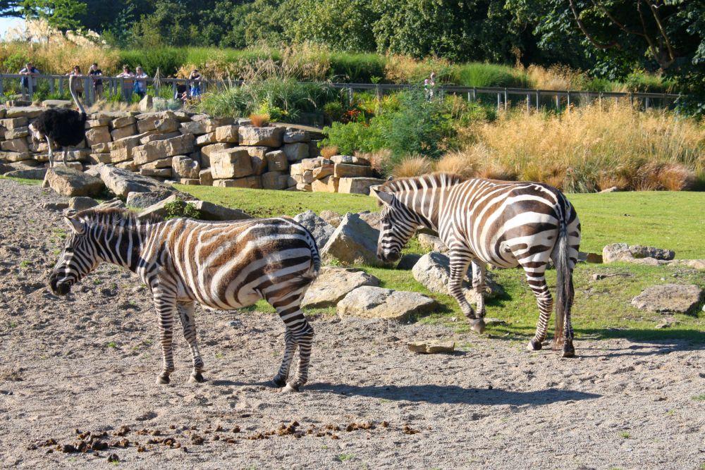 Dublin ZOO - zebry