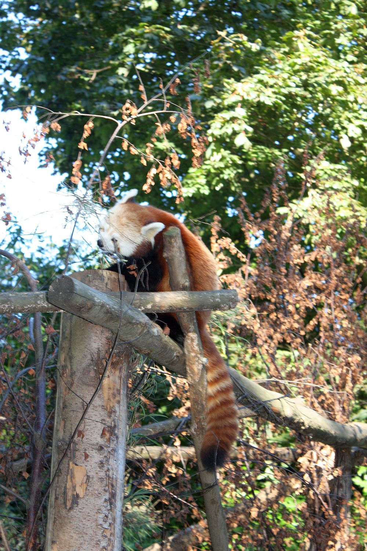 Dublin ZOO - Red Panda