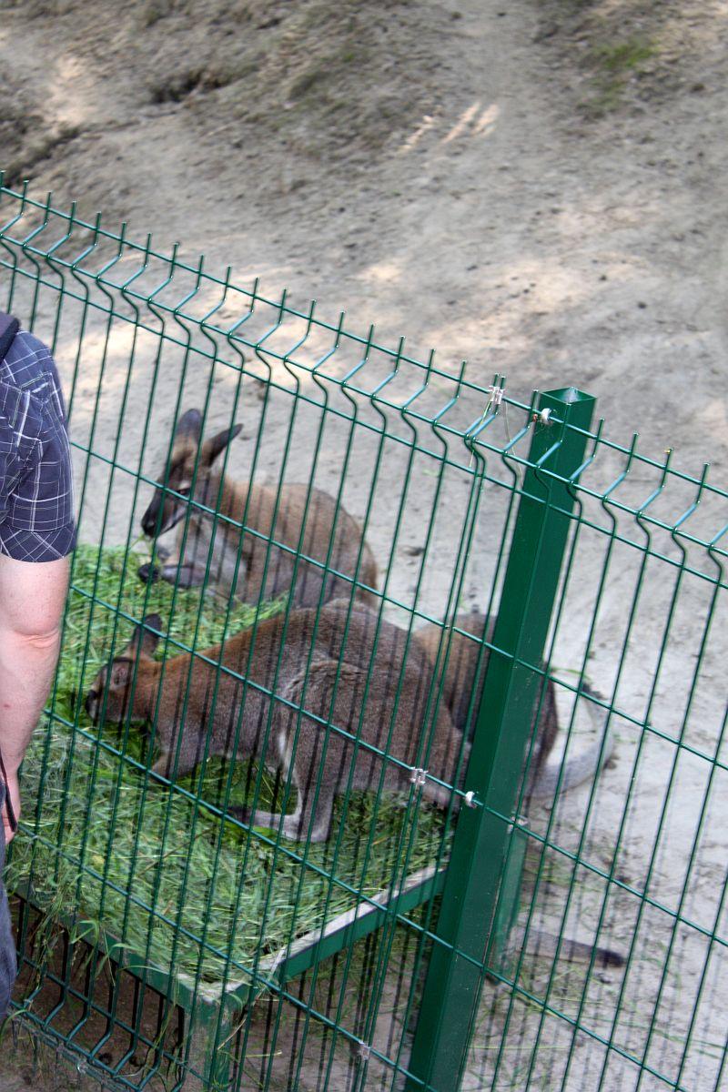 Małe Kangurki też były głodne