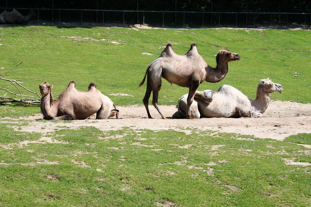 A tu już inne Camele ;-)