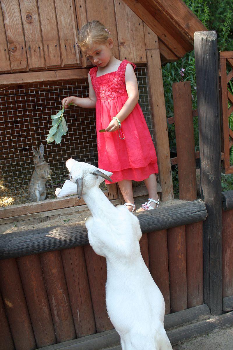 Karmię kozę