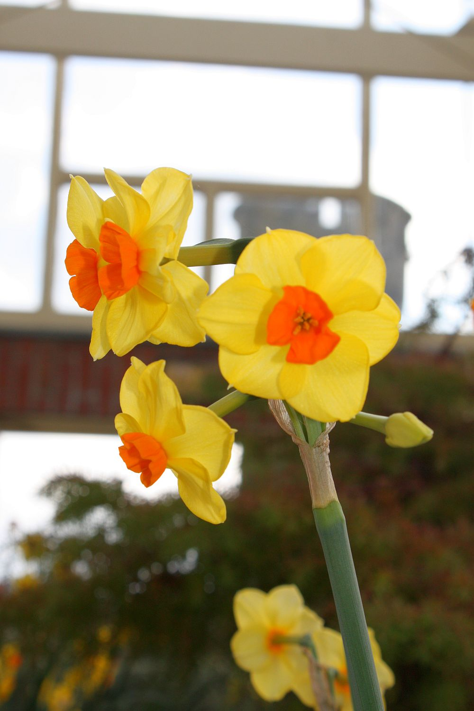 Daffodil/Żonkil