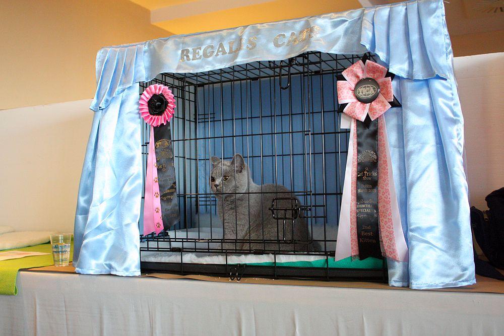 Na wystawie rasowych kotów