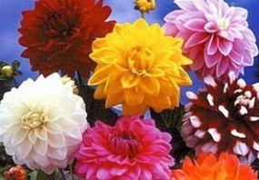 Kwiaty dalie